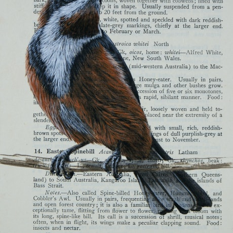 (CreativeWork) Eastern Spinebill on vintage (1951) page from 'What Bird is That?' by Neville W. Cayley by Craig Williams. Acrylic Paint. Shop online at Bluethumb.