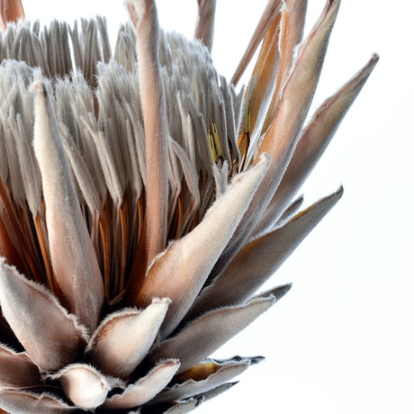 (CreativeWork) Dried King Protea Flower Ed. 1 of 50 by Nadia Culph. Photograph. Shop online at Bluethumb.
