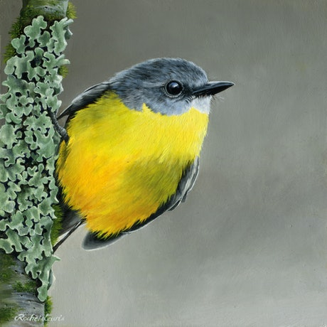 (CreativeWork) Eastern Yellow Robin by Rachel Lewis. Oil Paint. Shop online at Bluethumb.