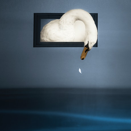 (CreativeWork) White Swan Dreams Ed. 1 of 25 by Carmel Cook. Photograph. Shop online at Bluethumb.