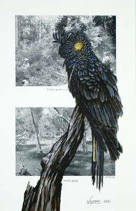(CreativeWork) Yellow-Tailed Black Cockatoo on vintage (1948) page from 'What Bird is That?' by Neville W. Cayley by Craig Williams. Acrylic Paint. Shop online at Bluethumb.