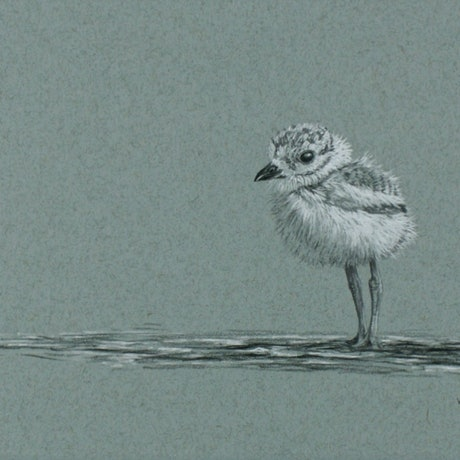 (CreativeWork) Plover Chick by Craig Williams. Drawings. Shop online at Bluethumb.