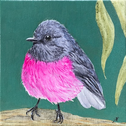 A pink robin perched on a branch with gum leaves in the background on a solid teal background.