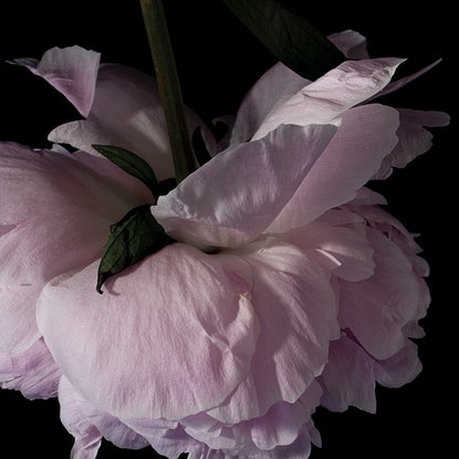 (CreativeWork) Peony #1 Ed. 1 of 40 by Lauren Daly. Print. Shop online at Bluethumb.