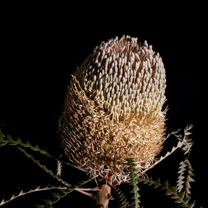 (CreativeWork) Banksia Glow Ed. 1 of 40 by Lauren Daly. Print. Shop online at Bluethumb.