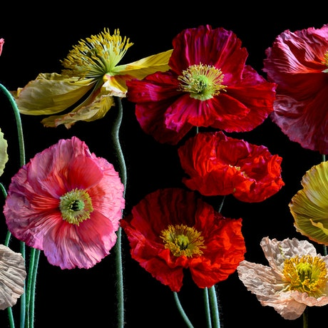 (CreativeWork) Poppy Collage Ed. 1 of 5 by Nadia Culph. Photograph. Shop online at Bluethumb.