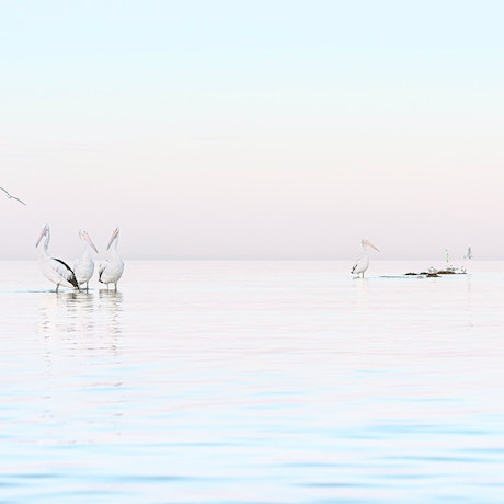 (CreativeWork) Pelican's at Ricketts Point Ed. 1 of 22 by Liza Clements. Photograph. Shop online at Bluethumb.