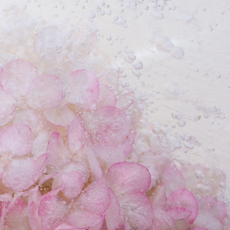 (CreativeWork) Frozen Flowers - Hydrangea Paniculata (A3 Size) by Renee Tsironis. Photograph. Shop online at Bluethumb.