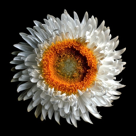 close up of a white strawflower on a black background