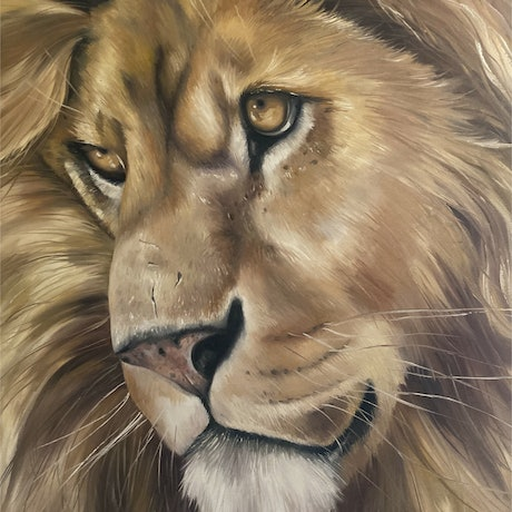 long haired kind faced lion  , young male lion close up
