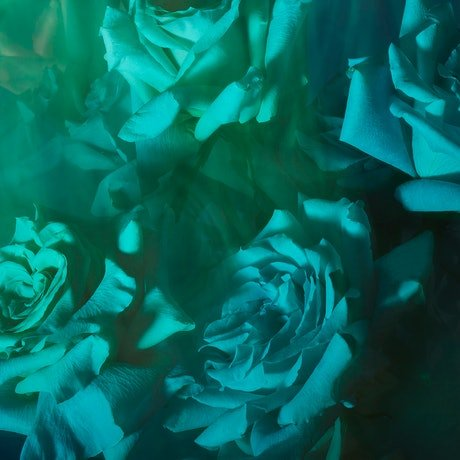coloured roses in blurry motion