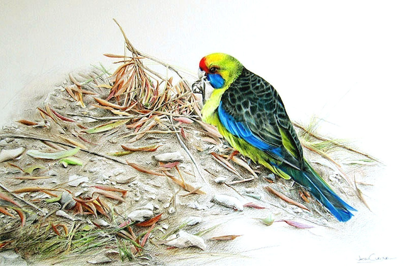 (CreativeWork) Green Rosellas by Jacqui Cleijne. drawing. Shop online at Bluethumb.