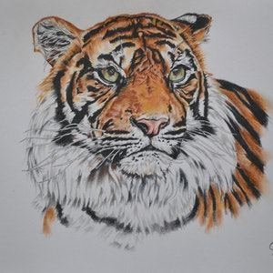 (CreativeWork) tiger portrait by Hiten Mistry. drawing. Shop online at Bluethumb.
