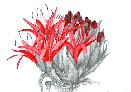 "(CreativeWork) ""Blossom"" Spp. Gymea Lily (Doryanthes excelsa) by Sharon Mak. arcylic-painting. Shop online at Bluethumb."