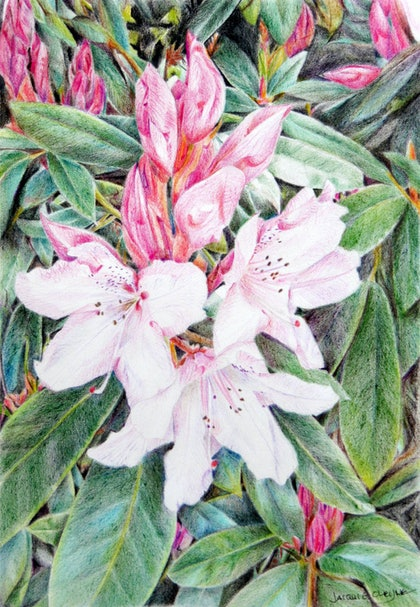 (CreativeWork) Pink Rhododendron Beauty by Jacqui Cleijne. drawing. Shop online at Bluethumb.