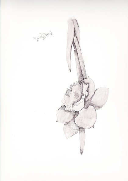 (CreativeWork) Daffodil by Kim Bagot-Hiller. drawing. Shop online at Bluethumb.