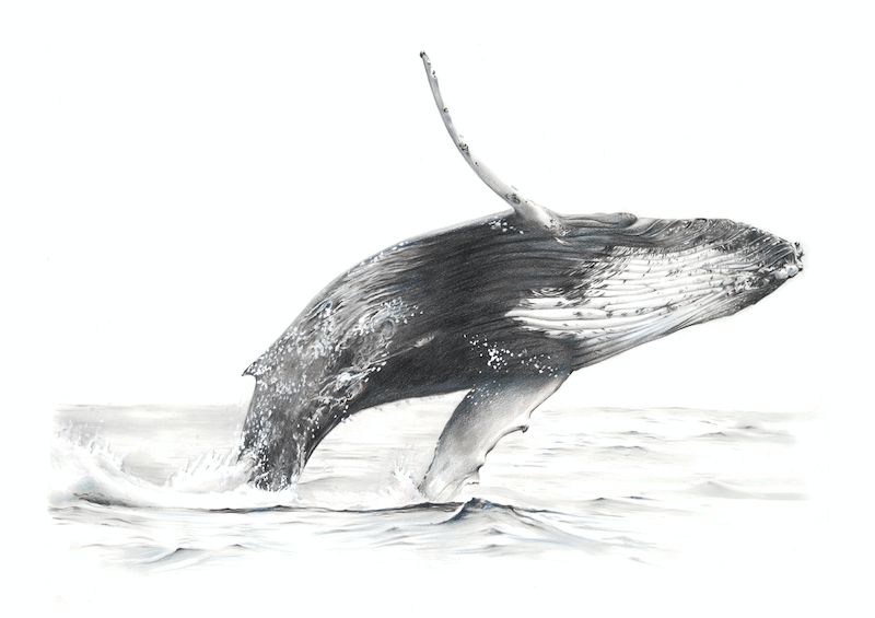 (CreativeWork) BALAENOPTERA MUSCULUS // LIMITED EDITION GICLÉE PRINT by Jess Le Clerc. print. Shop online at Bluethumb.