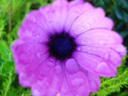 (CreativeWork) purple flower water drops by Bek Possingham. other-media. Shop online at Bluethumb.