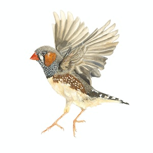 (CreativeWork) Zebra Finch II  by Liss Kamp. print. Shop online at Bluethumb.