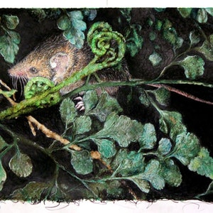 (CreativeWork) 3.White-footed Dunnart (Sminthopsis leucopus) with Maidenhair Spleenwort (Asplenium hookerianum) by Anastasia Fitter. drawing. Shop online at Bluethumb.