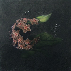 (CreativeWork) The Wax Plant (Hoya carnosa) by Anastasia Fitter. drawing. Shop online at Bluethumb.