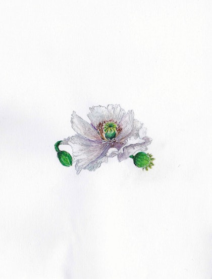 (CreativeWork) Papaver somniferum by Anastasia Fitter. drawing. Shop online at Bluethumb.
