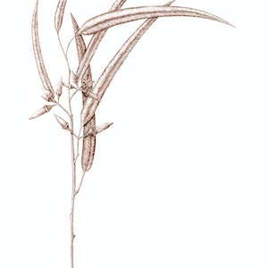 (CreativeWork) Sepia Sapling by Tim de Groot. drawing. Shop online at Bluethumb.