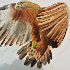 (CreativeWork) Eagle by Jacob Butler. watercolour. Shop online at Bluethumb.