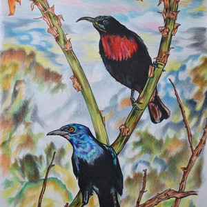 (CreativeWork) scarlet chested sunbird and glossy starling by Hiten Mistry. drawing. Shop online at Bluethumb.