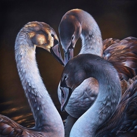 (CreativeWork) Swan Whispers - matted  Ed. 5 of 100 by Elena Kolotusha. Print. Shop online at Bluethumb.