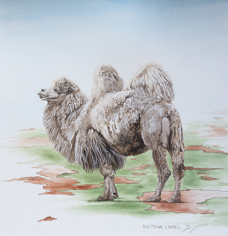 (CreativeWork) Bactrian Camel by Dario Zanesco. Watercolour Paint. Shop online at Bluethumb.